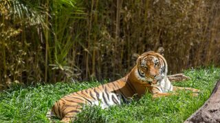 Reid Park Zoo mourns the loss of Sita the Malayan Tiger