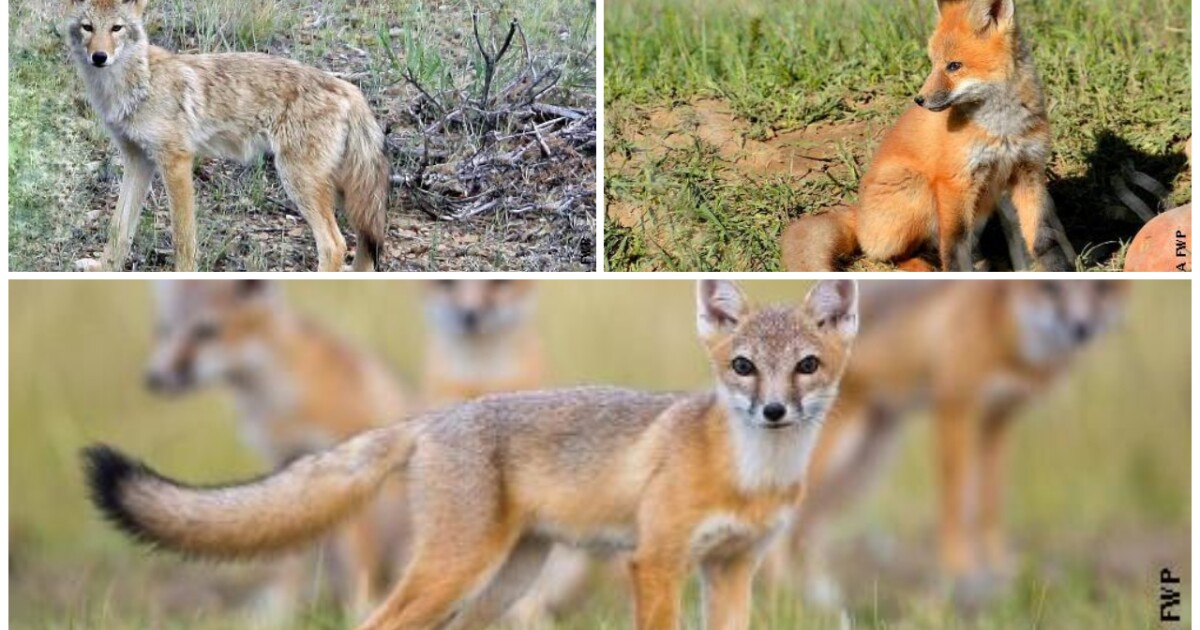 Know the difference between swift foxes, coyotes, and red foxes