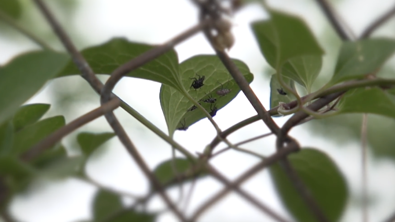 After multiple tests, including running a DNA profile on the honey, the culprit turned out to be the invasive Asian lanternfly. They can be destructive, potentially responsible for hundreds of millions of dollars in agricultural damage.