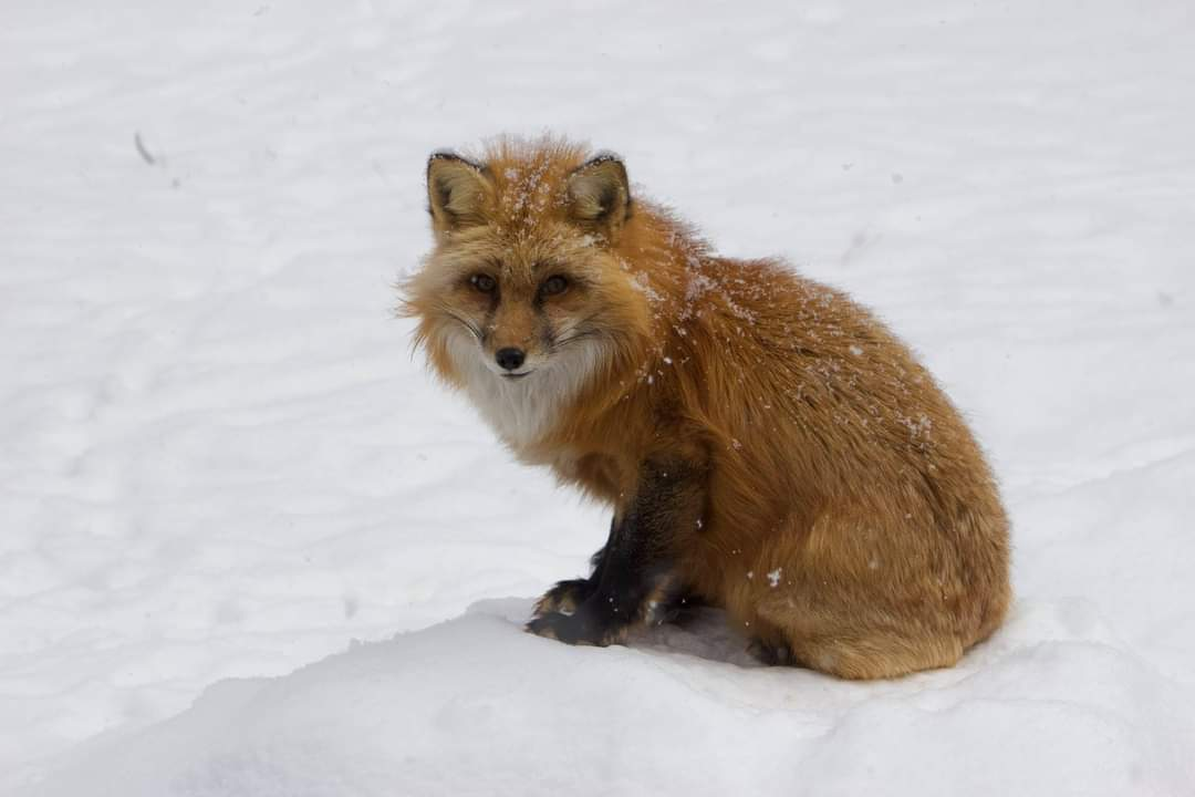 FOX, BEARIZONA.jfif