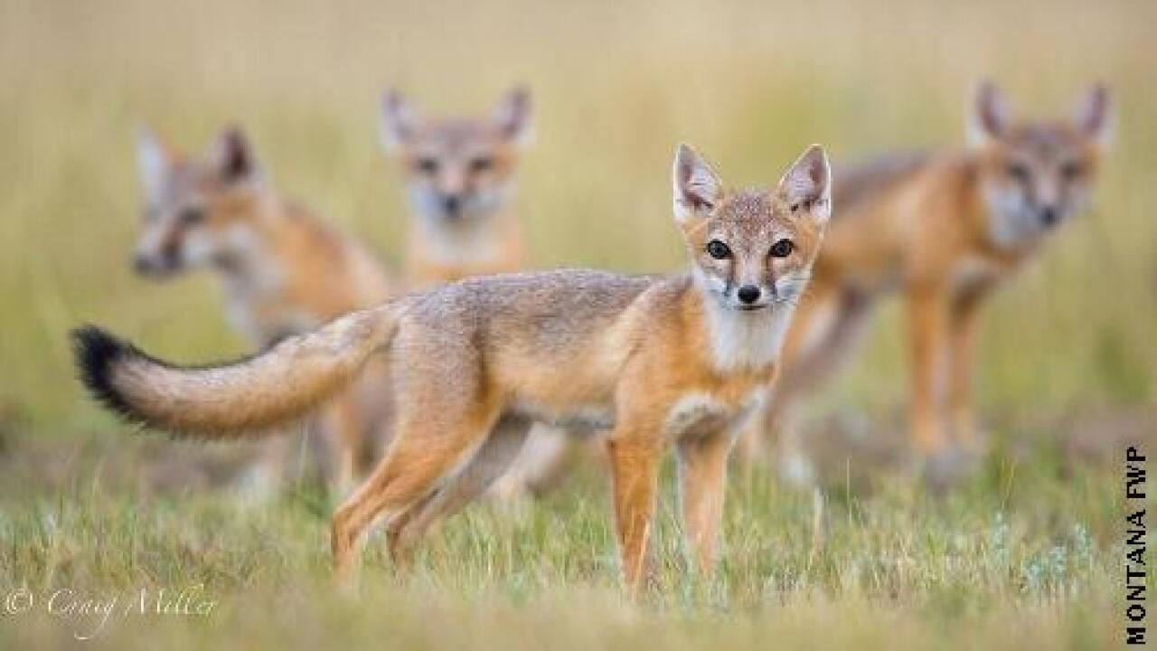 ph swift fox file.jpg
