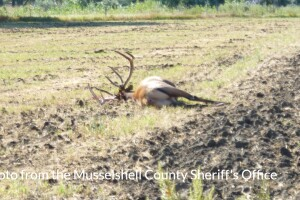 At least two elk poached in Musselshell County