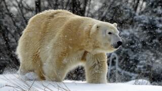Anana_Detroit Zoo polar bear killed