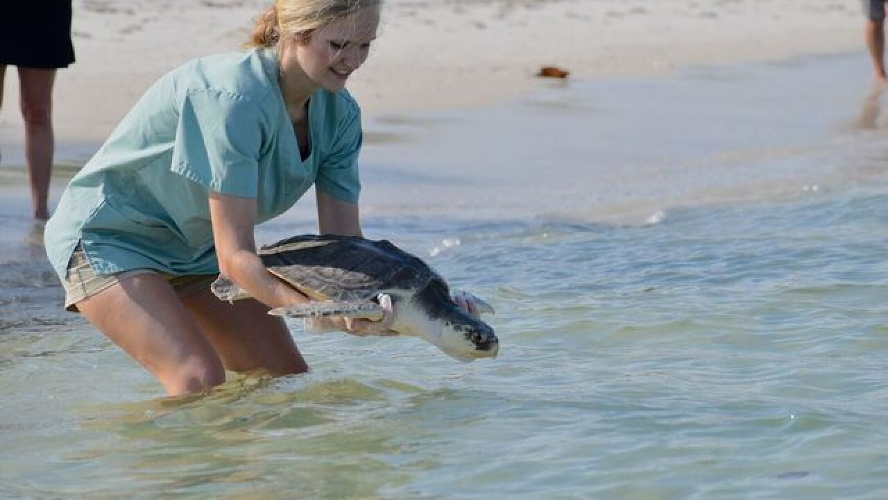 Two endangered Kemp's ridley turtles released