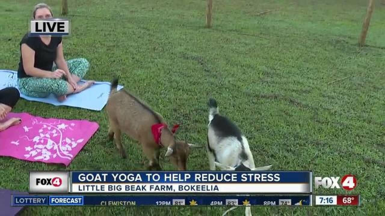Goat yoga to help reduce stress