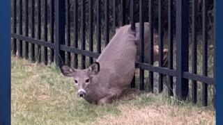 stuck deer.jpg