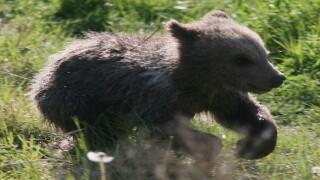 USDA investigating alleged bear cub abuse at Indiana facility