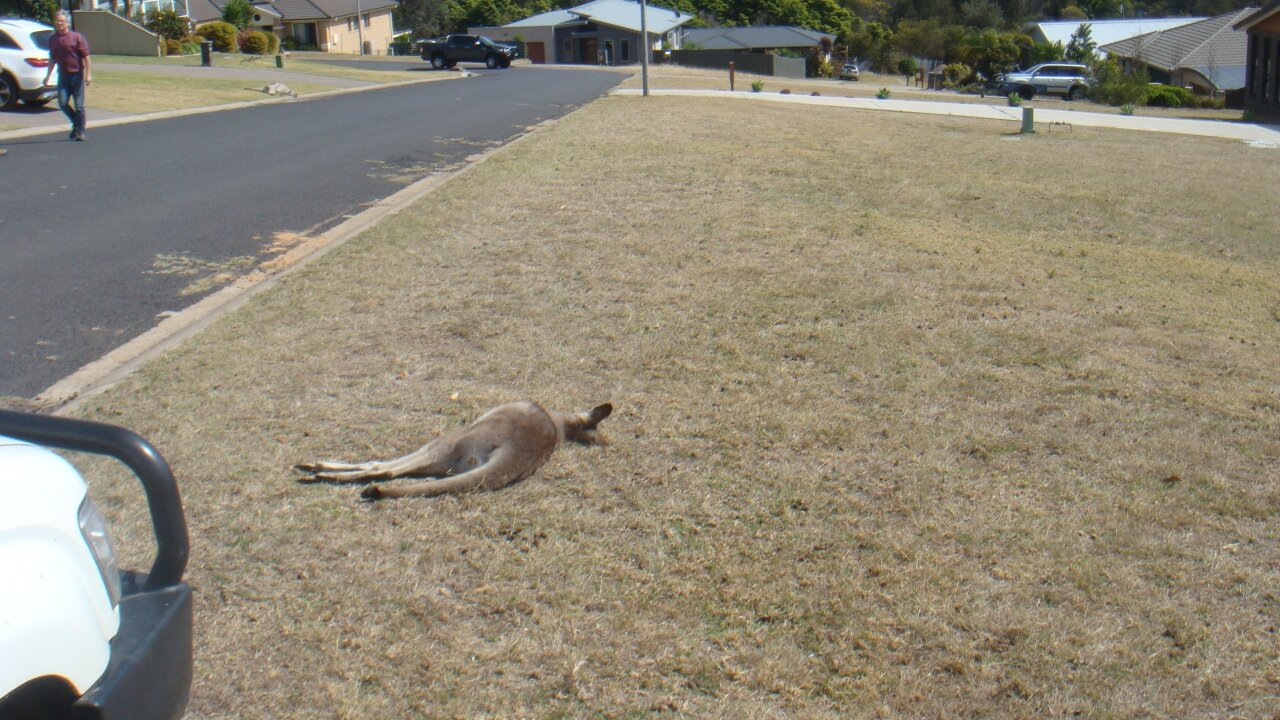 Community in shock after 20 kangaroos killed in apparent hit-and-run spree