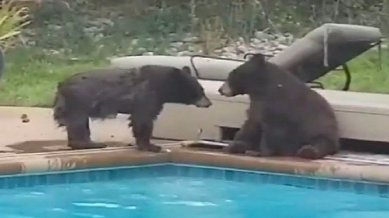 This Video Of Two Bears Taking A Dip In A Colorado Swimming Pool Is Adorable