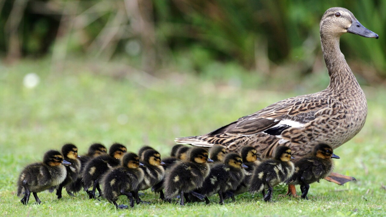 Florida man arrested for intentionally running over ducklings playing in a puddle