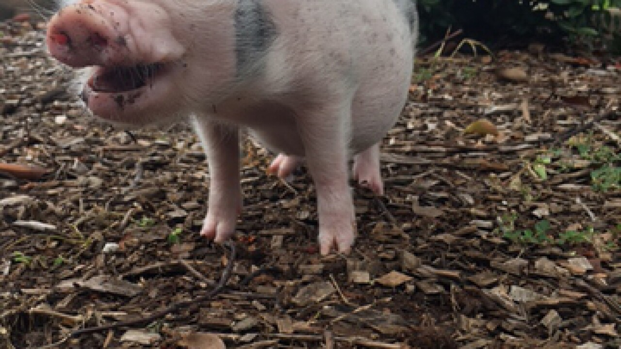 Florida family files complaint after pig's death