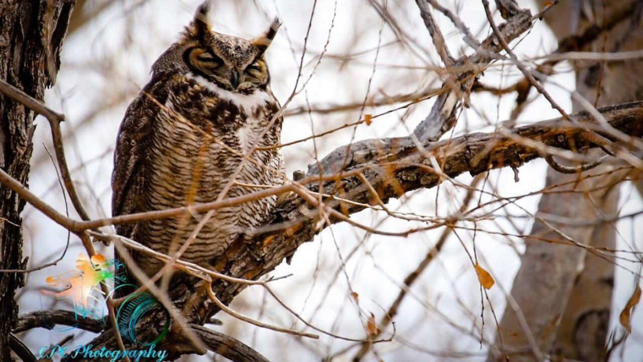 Carter Chavez great horned owl