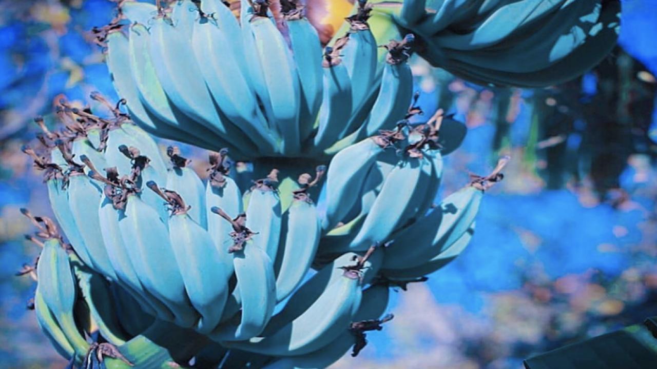 blue bananas4.png