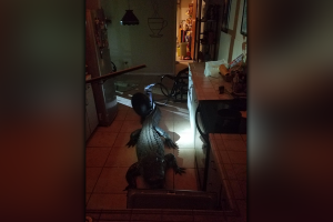Unwanted Visitor: 11-foot alligator breaks into Florida homeowner's kitchen