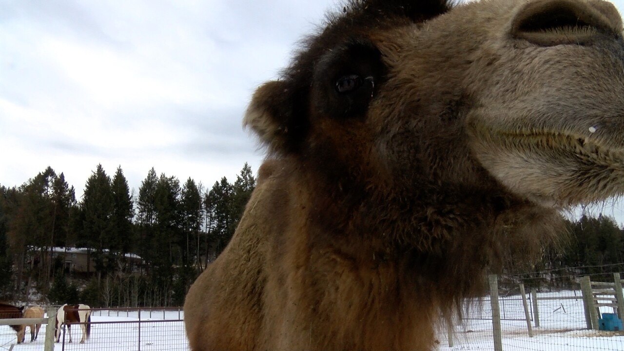 Carlos the camel.jpg