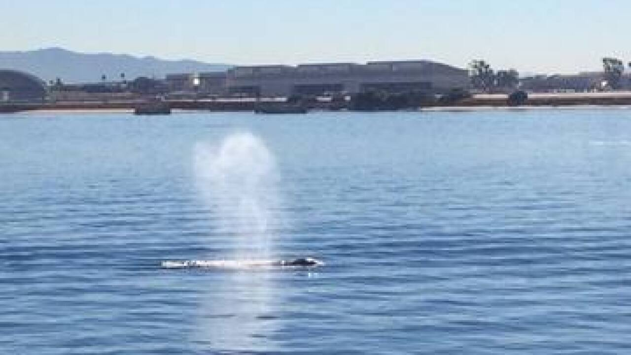 Whale sighting in San Diego Bay