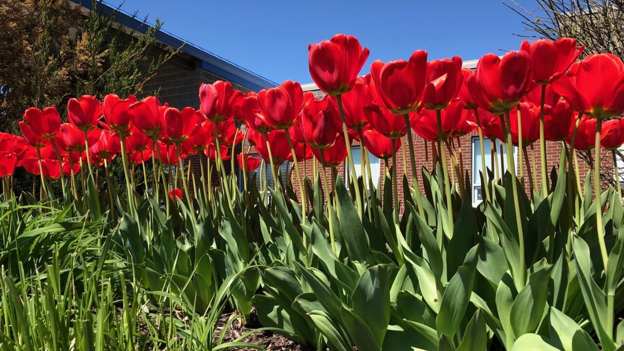 Red Tulip Campaign