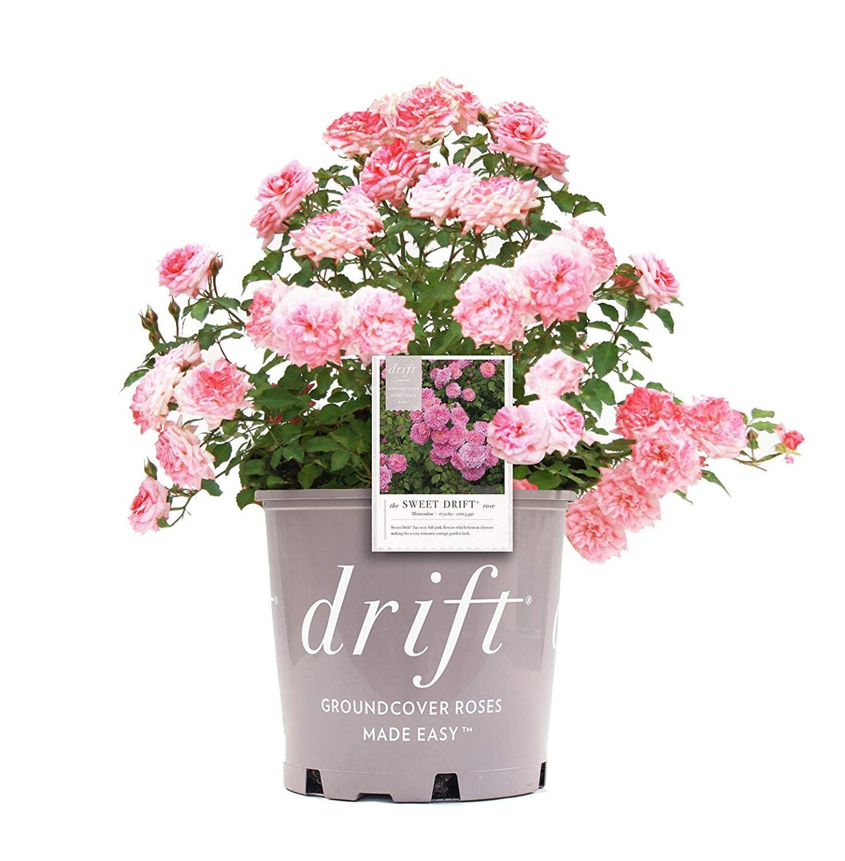 Sweet Drift Rose.jpg