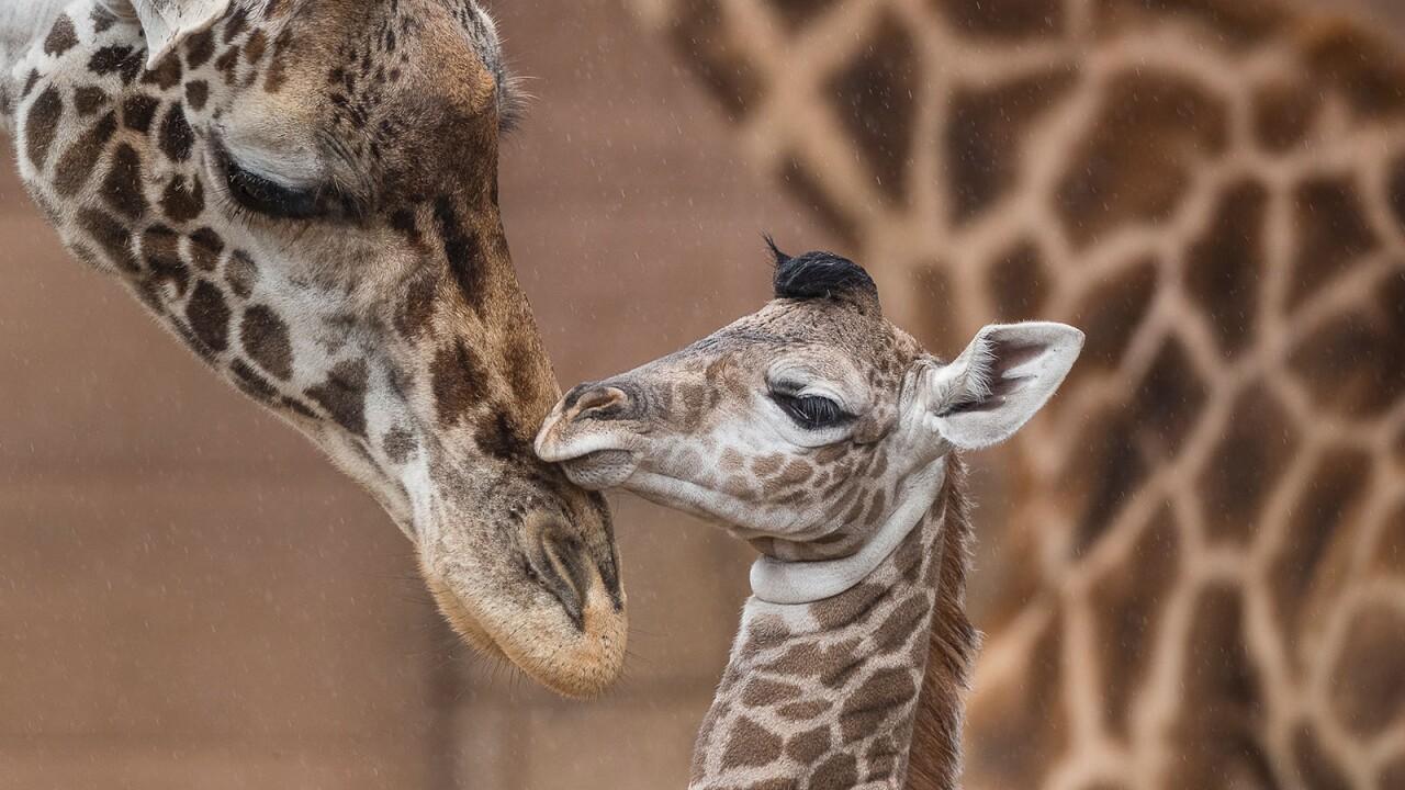 Giraffe_003_Web.jpg