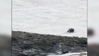 WATCH: Bear slides down snow field in Glacier National Park