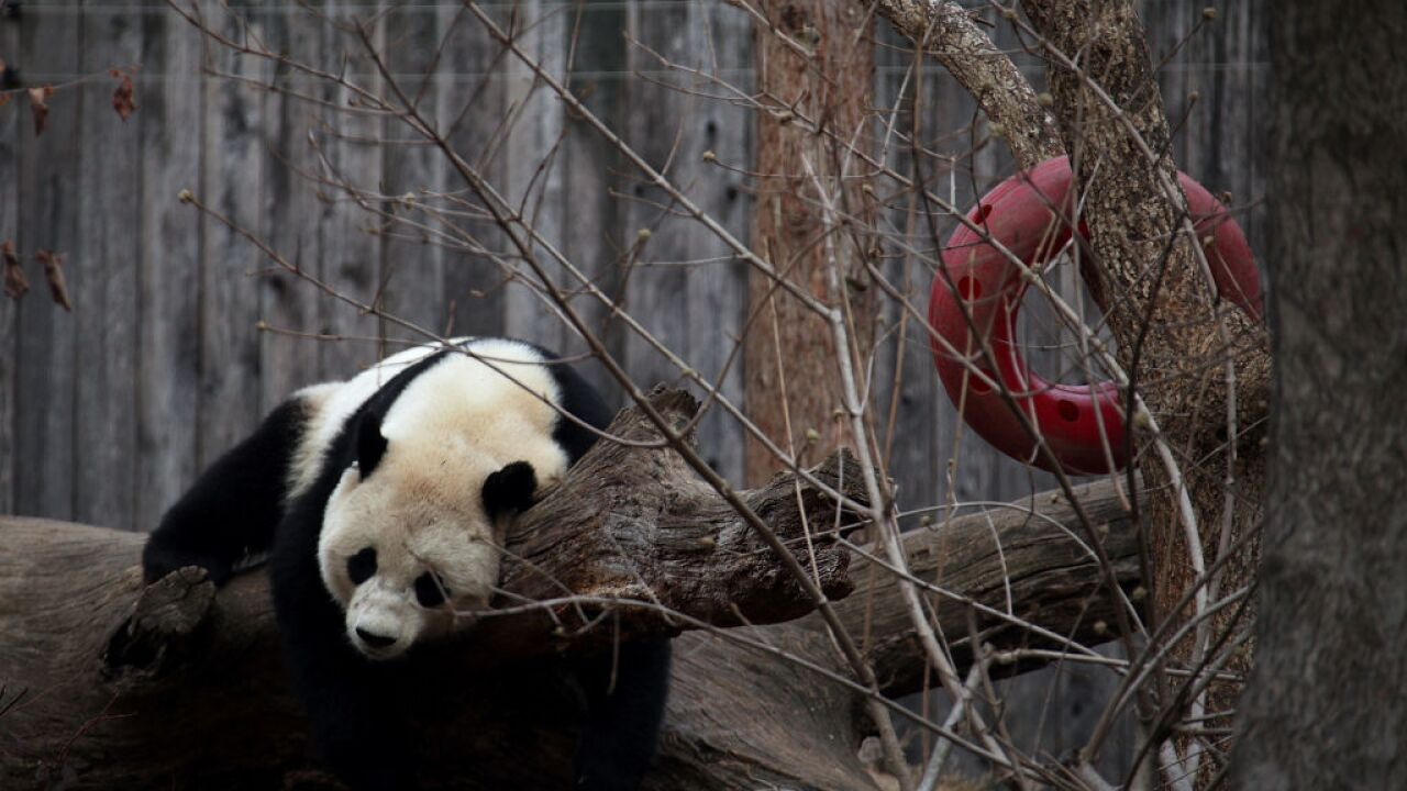 Beloved Panda Bao Bao Departs Washington's National Zoo For China