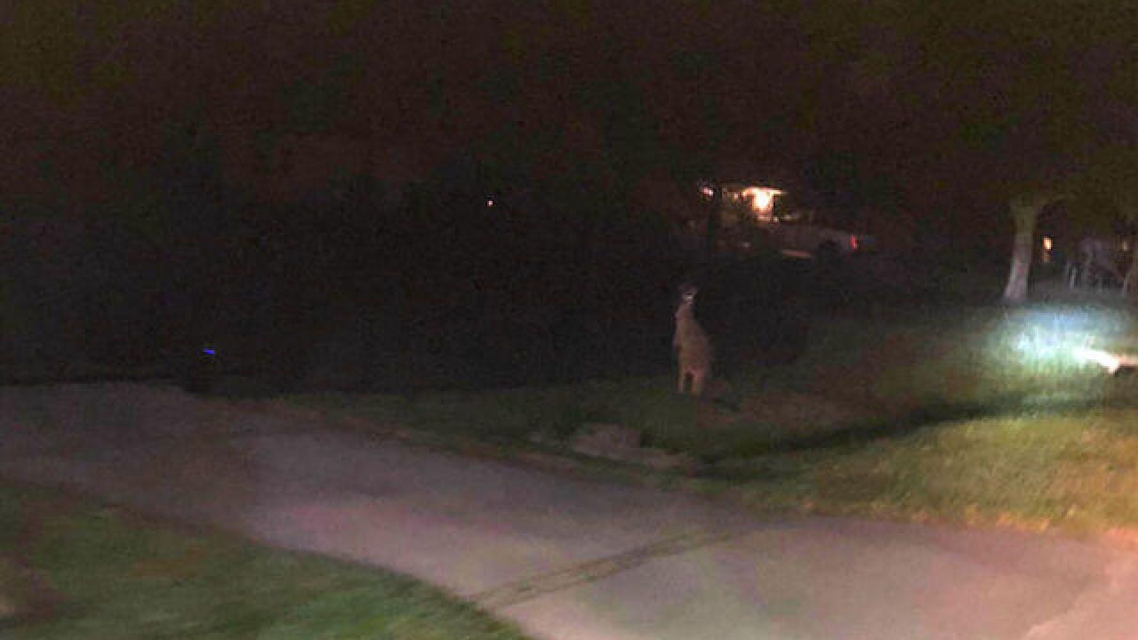 Missing kangaroo found safe, captured overnight