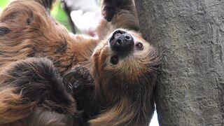 Lightning the sloth Cincinnati zoo