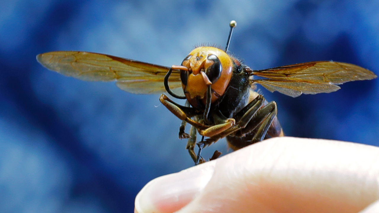 In this May 4, 2020, file photo, an Asian giant hornet from Japan is held on a pin by Sven Spichiger, an entomologist with the Washington state Dept. of Agriculture in Olympia, Wash.