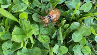 Cicadas emerge in Fort Mitchell.jpg