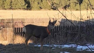 aggressive deer