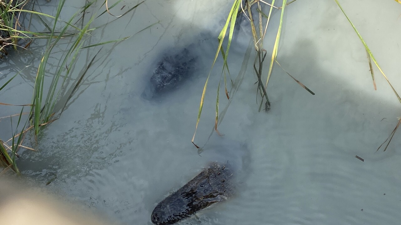 Why Port Aransas may have to relocate their beloved alligators