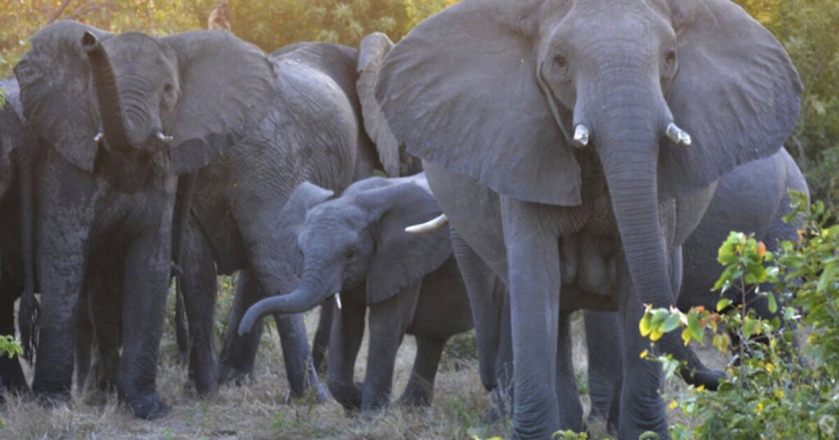 Suspected poacher trampled by elephants while trying to flee park rangers in South Africa