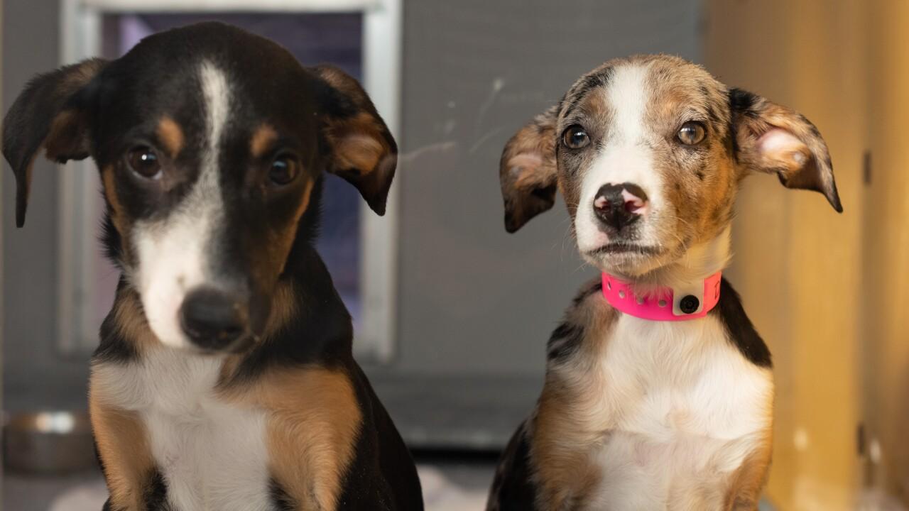 2018.11.29 35 Catahoula dog owner surrender_Dot (A1049028) and Bandit (A1049019)-1.jpg