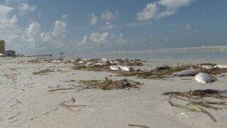 pinellas-county-red-tide-WFTS-HOLLENBECK-PKG.jpg