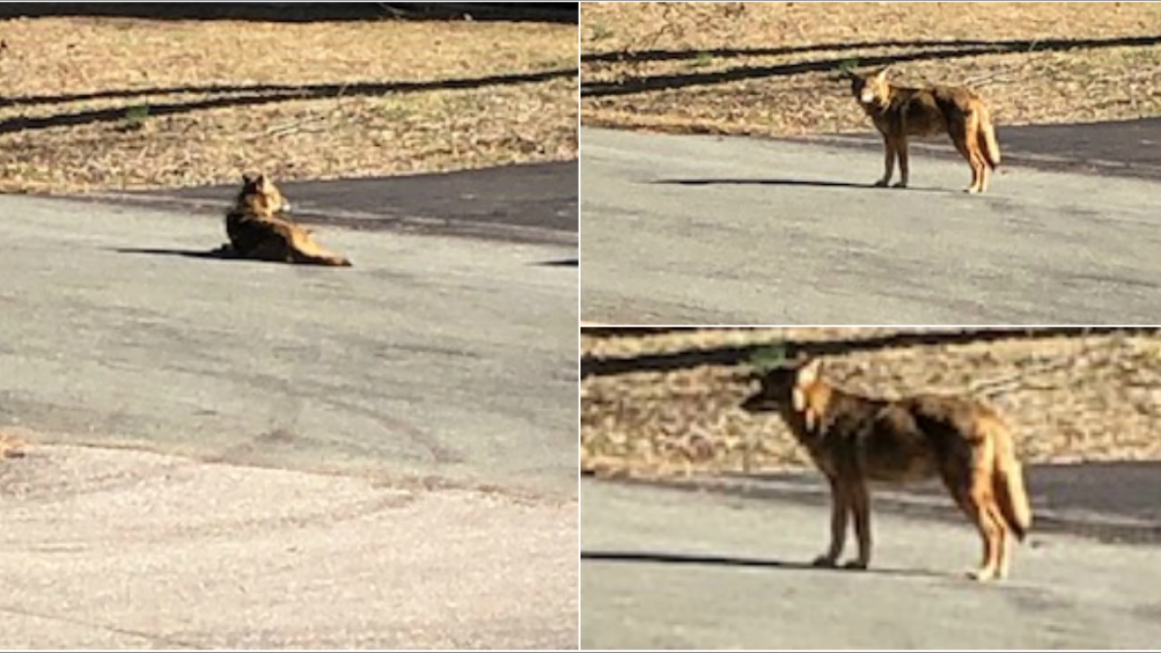 Coyote spotted lying in street in Chesterfield neighborhood