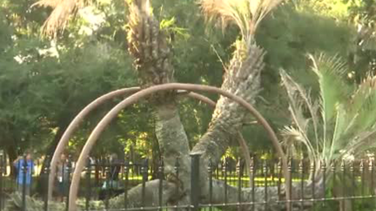 Iconic 4-headed pindo palm tree cut down in Panama City, Florida
