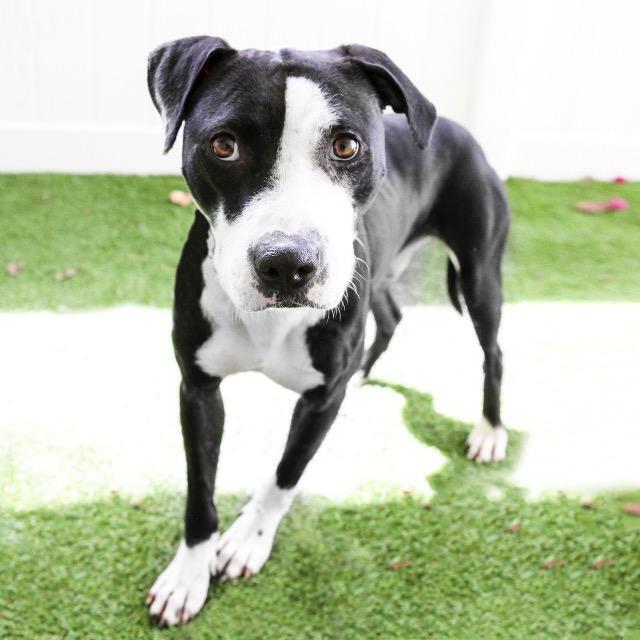 Reg_Pit Bull Terrier mix.jpg
