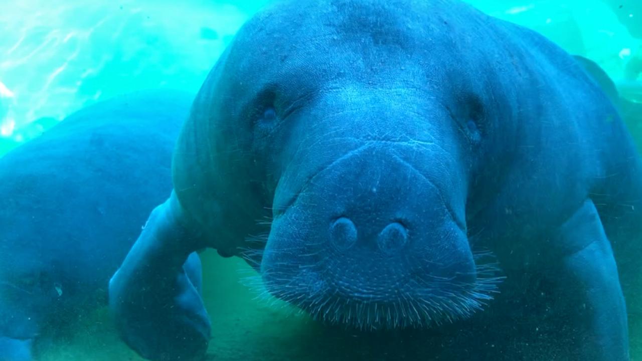 Florida will lose manatee warm-water habitats in coming years, officials warn