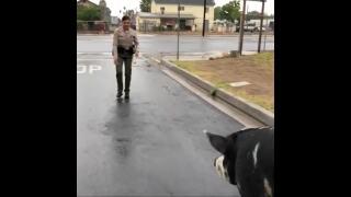 Video extra: Deputy lures pig with bag of Doritos
