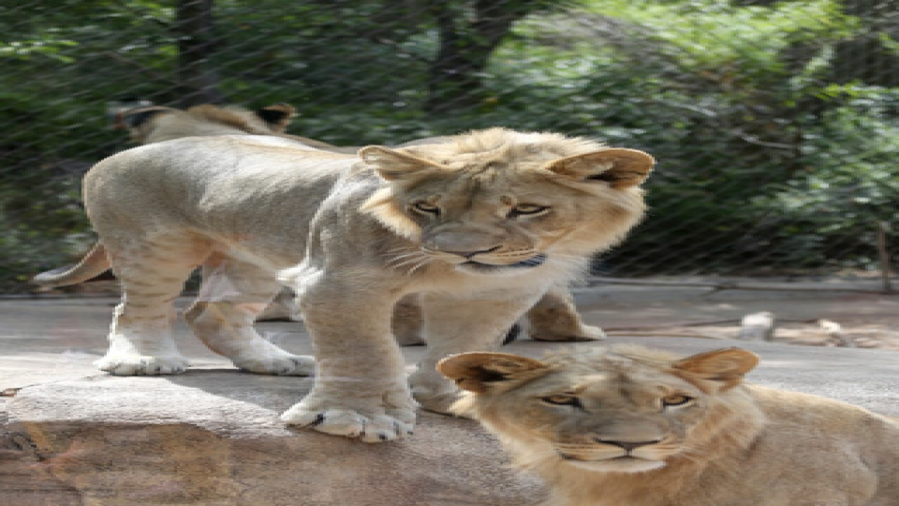 Denver Zoo shows off 4 new lion cubs