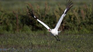 whooping crane ap.jpeg