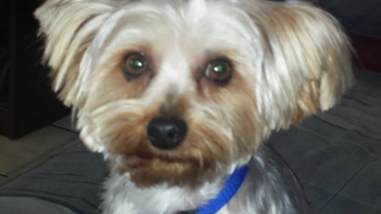 Woman's Yorkie mauled to death by pit bull