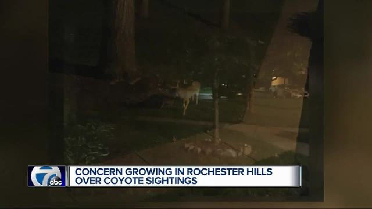 Coyotes more visible in Rochester Hills