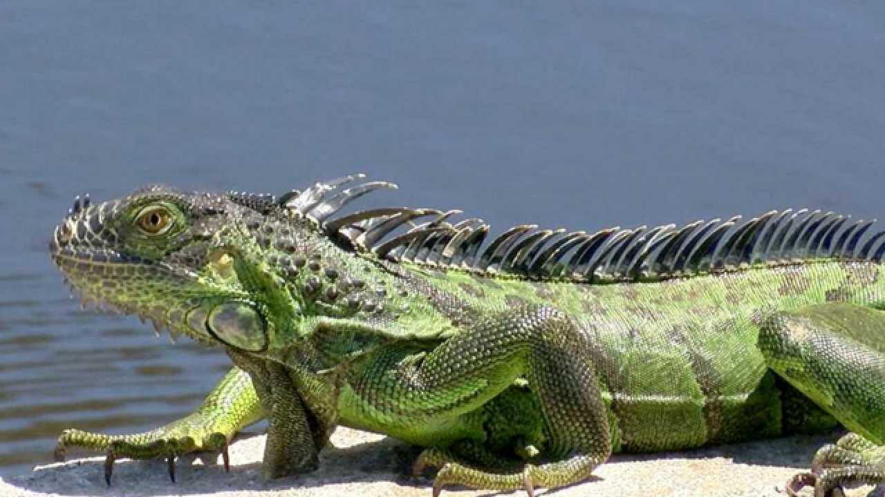 Experts see 'incredible increases' in South Florida iguana population