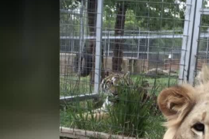 Jeff Lower's tigers still in Nevada