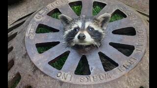 raccoon-rescued.jpg
