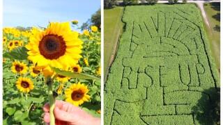 Sweetfields Farm Sunflowers.jpg