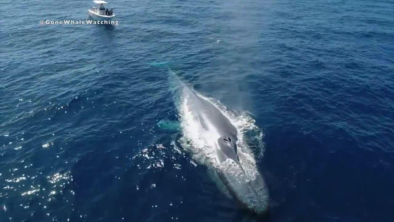 blue whale off san diego coast 6_24_2020