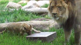 Meet Hogle Zoo's new lioncubs