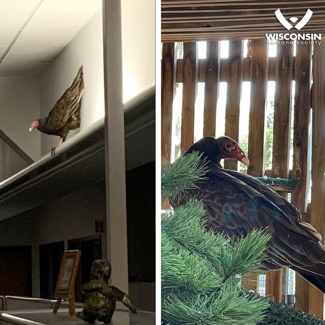 Turkey Vulture FB.jpg